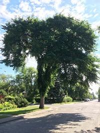 elm-tree-PA