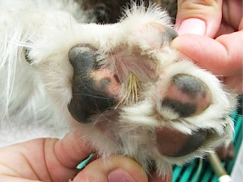 https://martensvillemessenger.ca/wp-content/uploads/2018/08/how-to-prevent-foxtails-in-dogs-paws.jpg