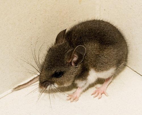 Deer-mouse-web
